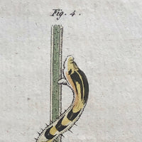 "Bertuch ""Nais Serpentina"" Late 18th C Hand-colored Copper Engraving"
