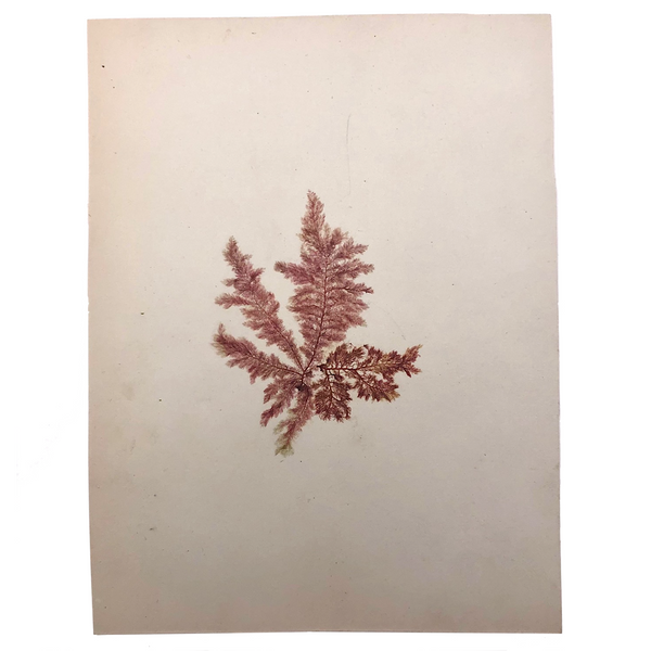 Victorian Dried Seaweed Pressing, Isle of Wight #7