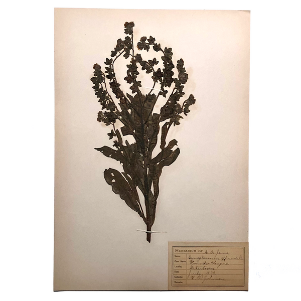 Hounds Tongue Plant Specimen from 1879 Herbarium