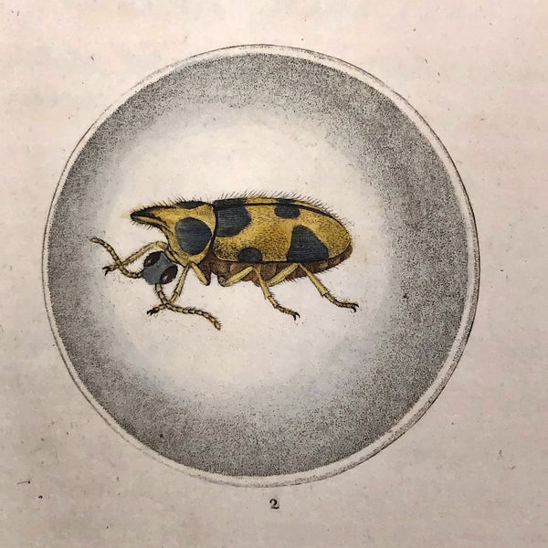 Meloe Monoceros 19th Century Hand-Colored Entomological Engraving