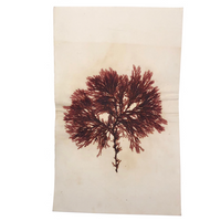 Antique Pressed Seaweed Specimen #3, c. 1850s