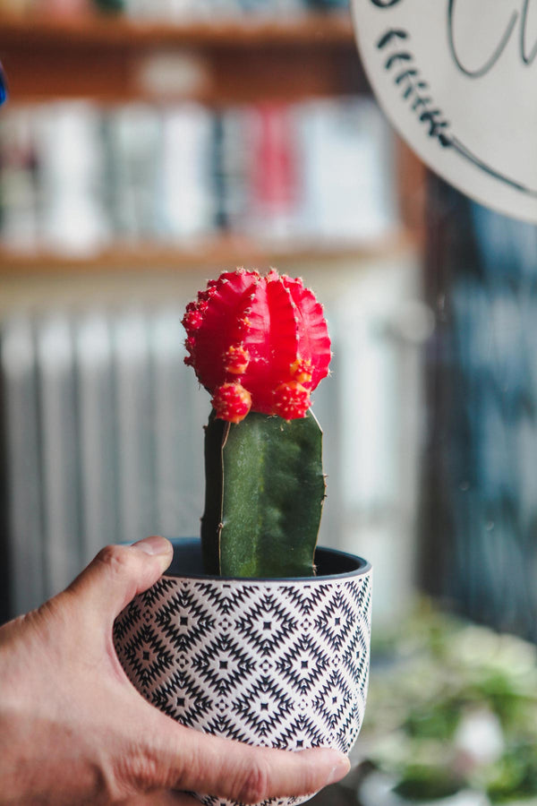 "Plant - 4"" Cacti Grafted"