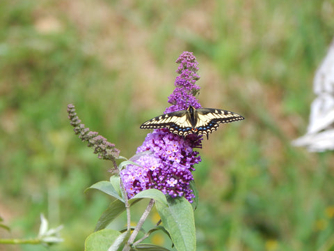 Swallowtail butterfly on flower Rose & Crown Apothecary