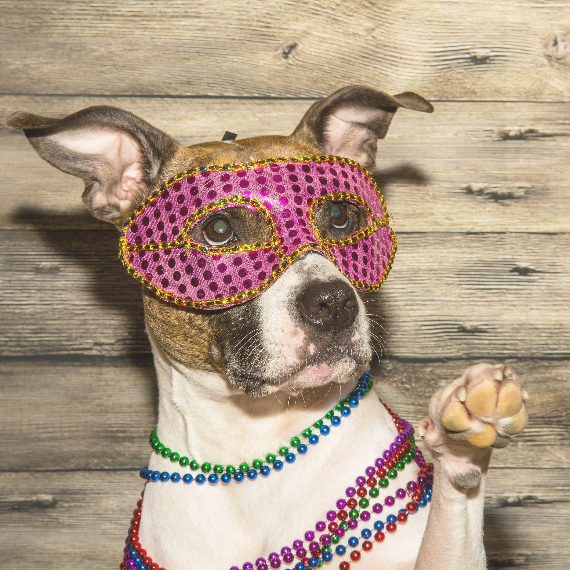 Small dog dressed in mask and beads for Mardi Gras