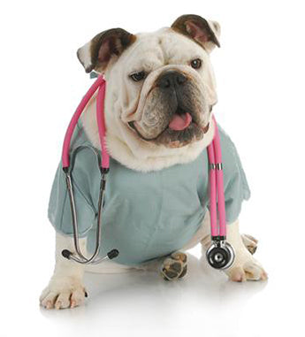 english bulldog doctor