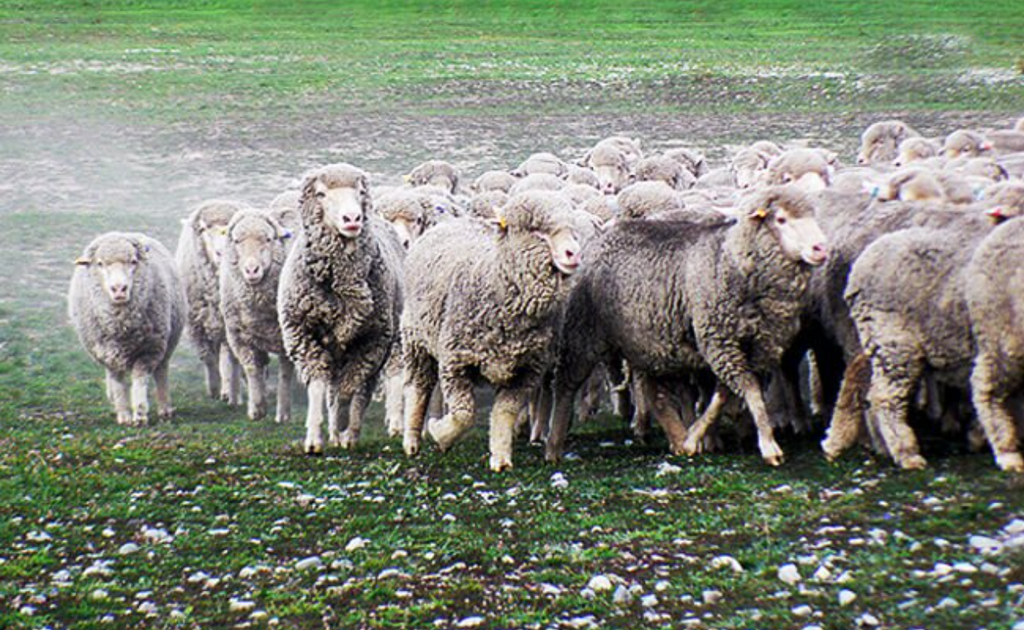 merino sheep are originally from Spain