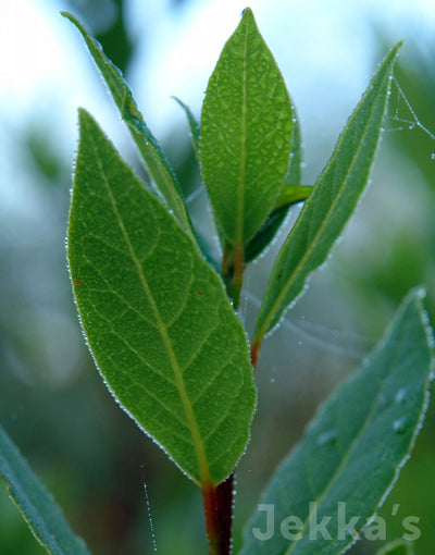 All about Herbs: Bay (Laurus nobilis)