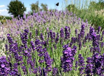 All about Herbs: Lavender (Lavandula)