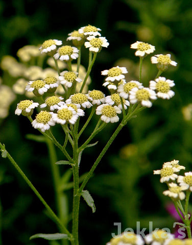 Jekka's herb plants: over 400 culinary herbs available to