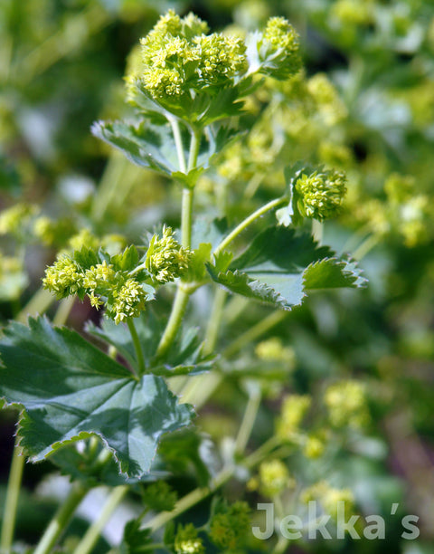 Jekka's: Lady's Mantle