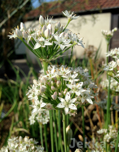 Jekka's: Garlic Chives (Allium tuberosum)