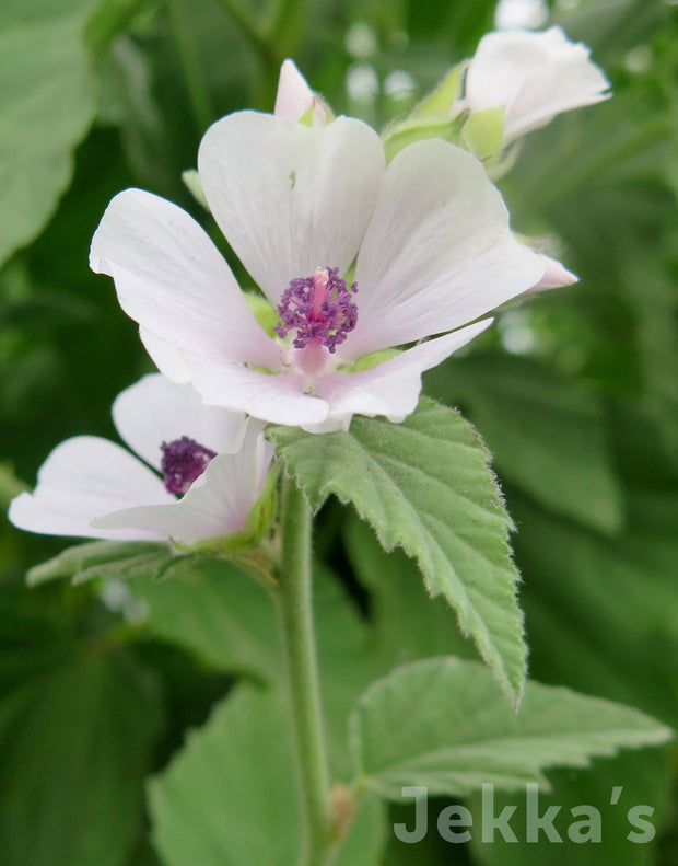 Jekka's: Marsh Mallow (Althaea officinalis)