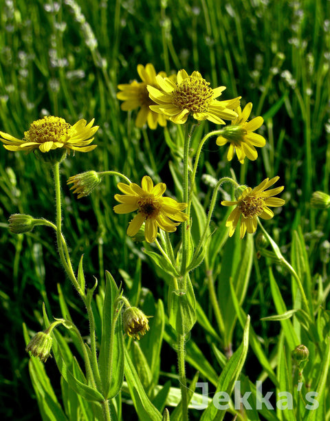 Jekkapedia: North American Arnica