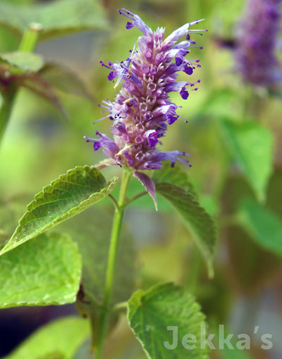 Jekkapedia: Golden Agastache