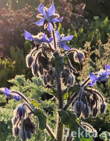 Jekkapedia: Borage