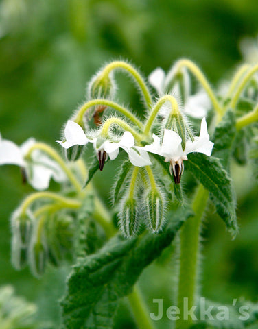 Jekka's: White Borage
