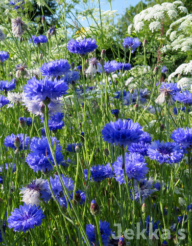 Jekkapedia: Cornflower