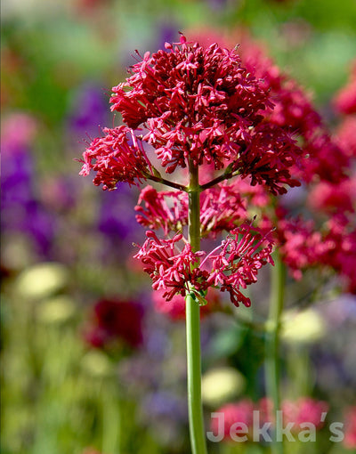 Jekkapedia: Red Valerian