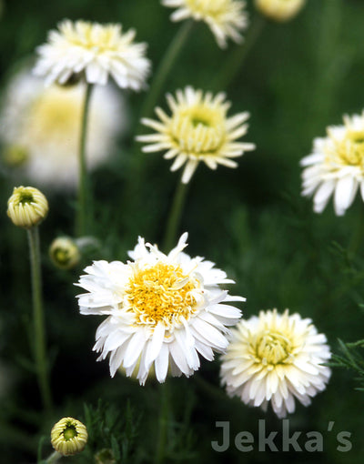Jekka's: Double Flowered Chamomile