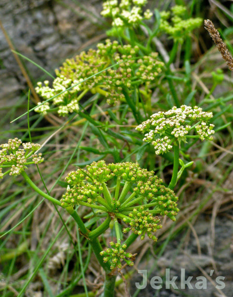 Jekkapedia: Rock Samphire