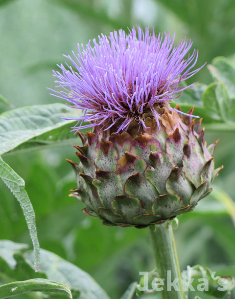 Jekkapedia: Cardoon