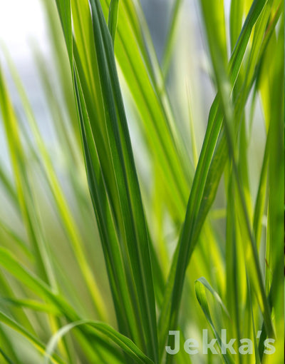 Jekka's: East Indian Lemongrass (Cymbopogon flexuosus)