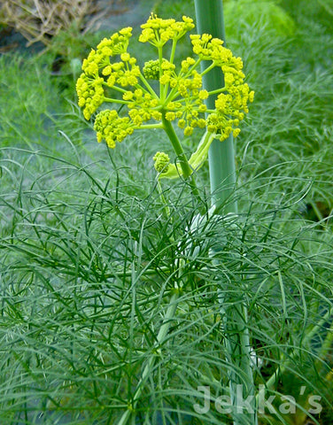 Jekkapedia: Giant Fennel