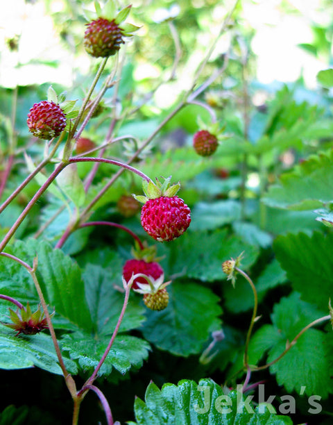 Jekkapedia: Wild Strawberry
