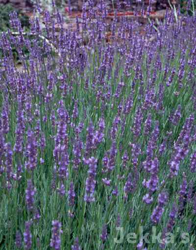 Jekkapedia: Lavender Old English