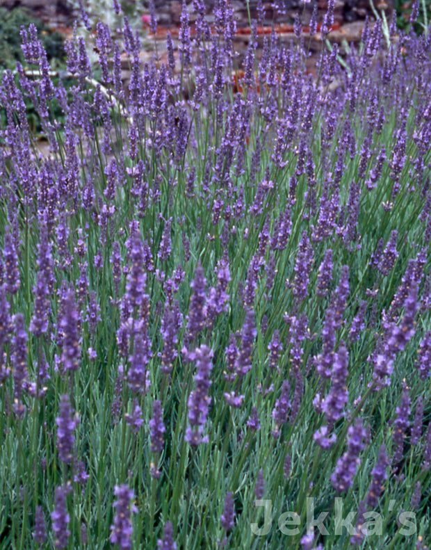 Jekka's: Lavender Old English