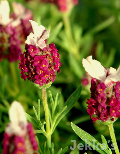 Jekkapedia: Lavender Kew Red