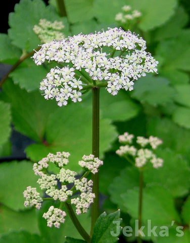 Jekkapedia: Scottish Lovage