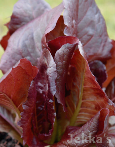 Jekkapedia: Red Lettuce