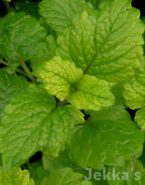 Jekka's: Lemon Balm All Gold