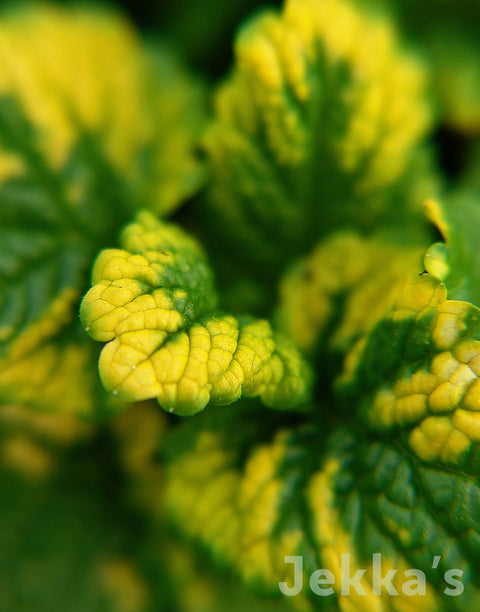 Jekkapedia: Variegated Lemon Balm