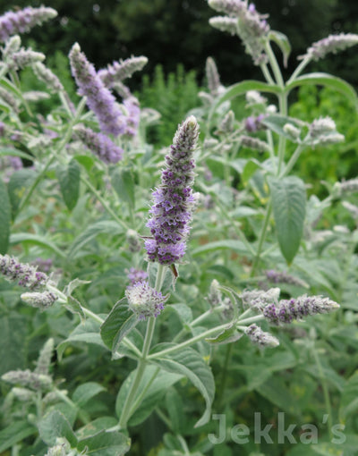 Jekkapedia: Buddleia Mint