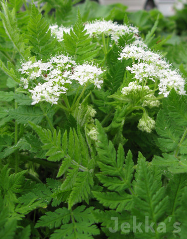 Jekkapedia: Sweet Cicely