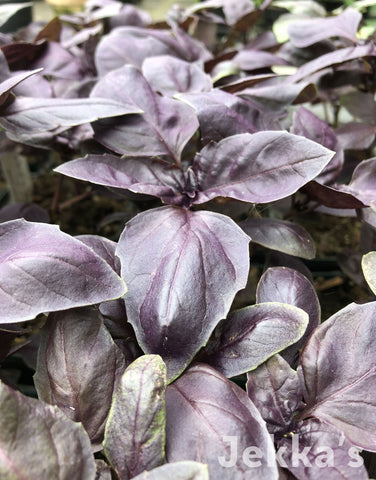 Jekkapedia: Purple Basil