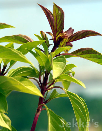 Jekkapedia: Thai Basil