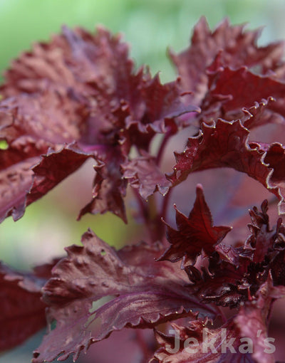 Jekkapedia: Purple Ruffles Basil