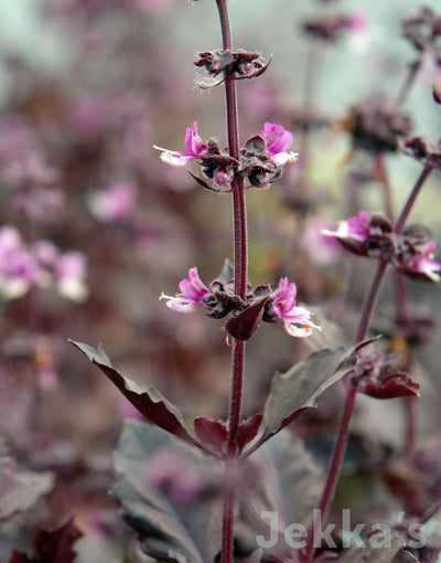 Jekkapedia: Red Rubin Basil