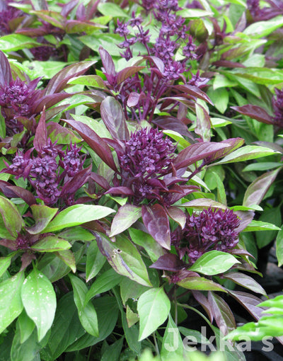 Jekkapedia: Siam Queen Basil