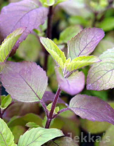 Jekkapedia: Holy Basil