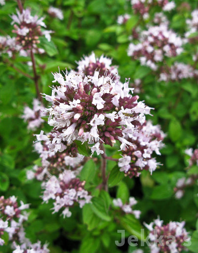 Jekkapedia: Pot Marjoram