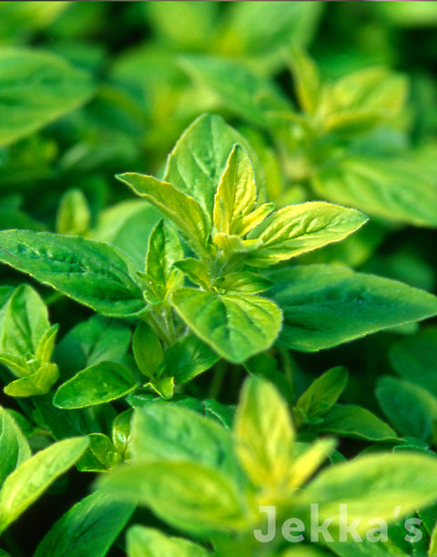 Jekkapedia: French Marjoram