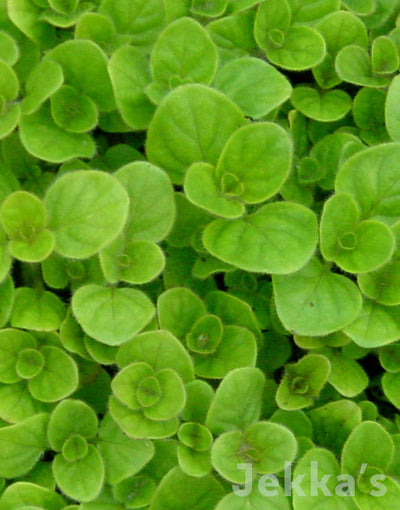 Jekka's: Golden Oregano