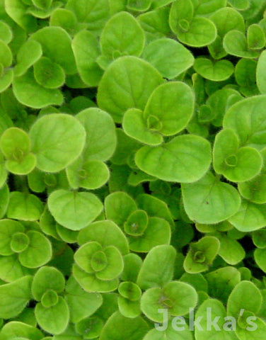 Jekkapedia: Golden Oregano