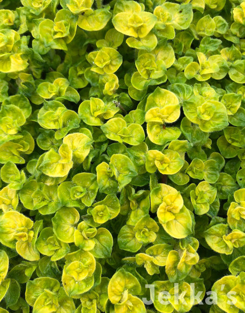 Jekka's: Golden Curly Oregano
