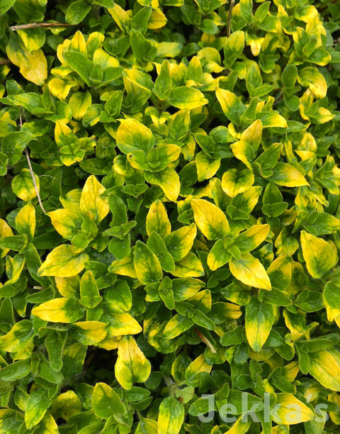 Jekka's: Gold Tipped Oregano