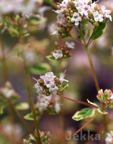 Jekkapedia: Polyphant Oregano